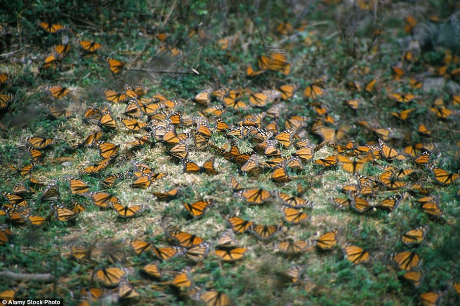 Rừng bướm của Mexico là khu bảo tồn thiên nhiên được pháp luật bảo vệ và cũng là một trong những điểm du lịch nổi tiếng nhất cả nước. Tuy nhiên điều này không giúp bảo vệ Monarch và khu rừng khỏi tầm ngắm của những kẻ tham lam.