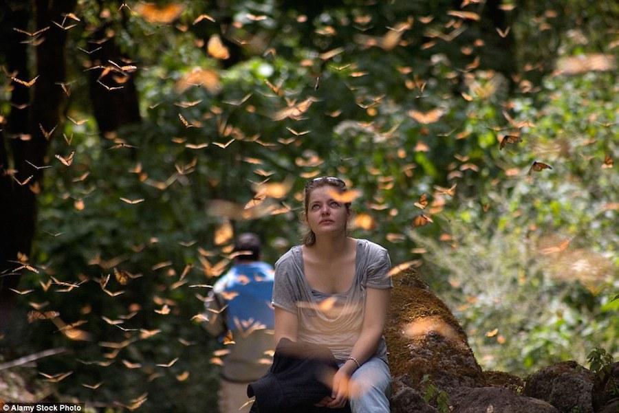 Với những khách du lịch có niềm say mê với Monarch, họ không ngại đi hàng trăm km chỉ để được thưởng thức vẻ đẹp của chúng. Tuy nhiên, Monarch đang gặp đe dọa khi số lượng cây gỗ trong rừng đang dần biến mất. Khai thác gỗ bất hợp pháp tại trung tâm dự trữ sinh quyển của bướm Monarch đã là một vấn đề tồn tại từ lâu.