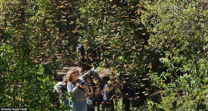 Tháng 11/2015, cộng đồng lên án đội khai thác gỗ ở Sierra Chincua Sanctuary, khu vực trung tâm của khu dự trữ sinh quyển, khiến 9 ha rừng hoàn toàn biến mất. Thế nhưng khi giao những kẻ phá rừng tới văn phòng công tố, chúng đã được tại ngoại chỉ sau vài giờ.