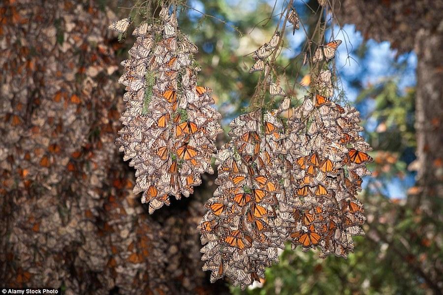 Chỉ một vài tháng trước, mối đe dọa với nơi ẩn náu của loài bướm Monarch đã tăng cao khi Group Mexico, công ty khai thác mỏ lớn nhất cả nước đã được cấp phép trở lại ở Angangueo, một thị trấn tại trung tâm khu dự trữ sinh quyển đã đóng cửa cách đây 25 năm. Nếu nó đi vào hoạt động, việc khu rừng cổ tích biến mất chỉ còn là vấn đề thời gian.