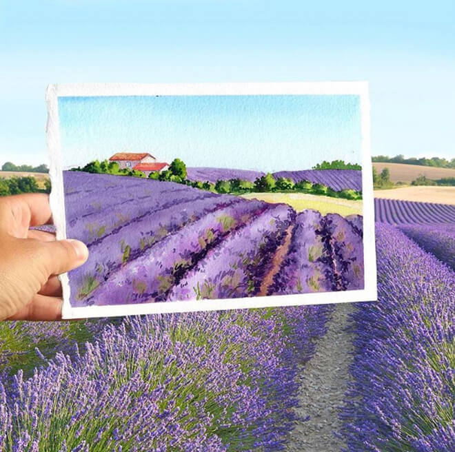 Cánh đồng hoa oải hương ở Provence (Pháp) khi vào mùa.