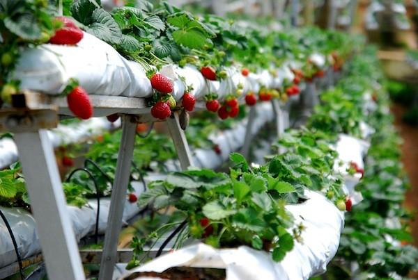 Vườn dâu đỏ mọng