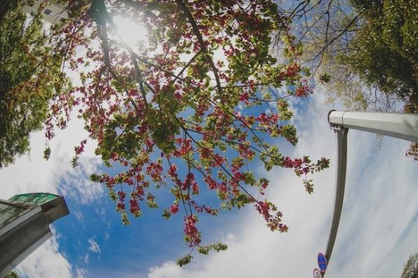 Cổ trấn Lệ Giang mùa xuân hoa đào đua nở