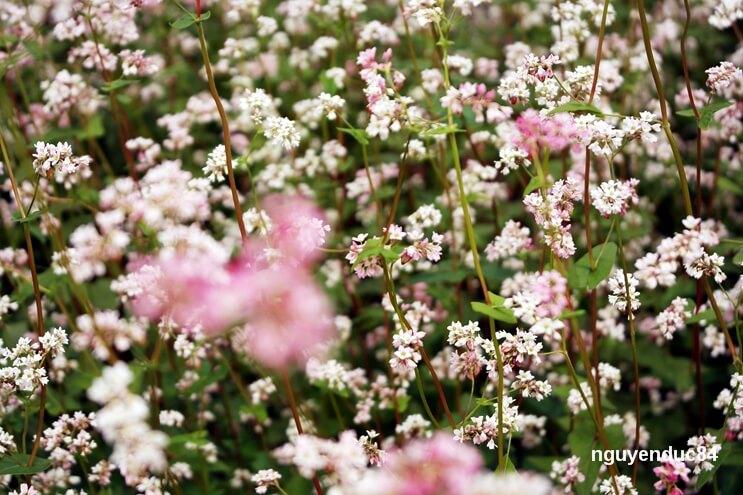 Từ những hạt tam giác mạch mang từ Hà Giang, thầy Vạn Trí trụ trì chùa Vạn Đức đã chọn thời điểm phù hợp để nhân giống và trồng lên cả một vườn hoa khá rộng.