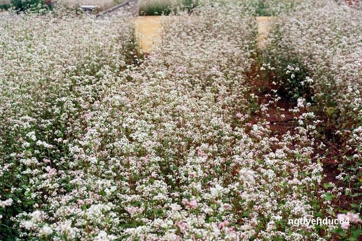 Thầy Thích Hải Hội ở chùa Vạn Đức cho biết, loài hoa này cũng dễ trồng, chỉ cần làm đất kỹ, bón phân và chọn đúng thời điểm thì có thể phát triển được.