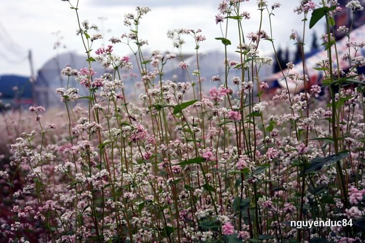 Lúc hoa mới trồng nhiều người nghĩ rằng đó là cây dấp cá bởi lá của nó rất giống. Khi lớn hơn, từng bông hoa mầu hồng và trắng nở thành chùm mỏng manh vươn lên trên những thân cây thẳng đứng.