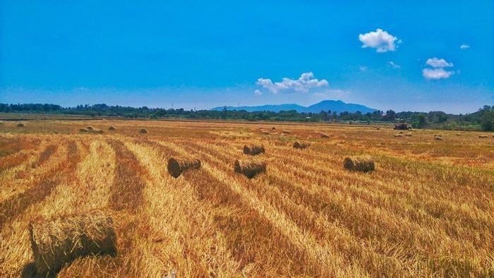 Ruộng lúa vừa thu hoạch