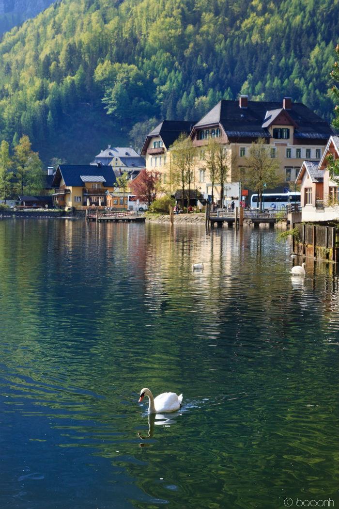 Thiên nga trắng muốt trong hồ