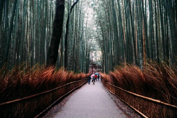Rừng trúc Arashiyama nổi tiếng - Ảnh: Lê Nhâm Quý