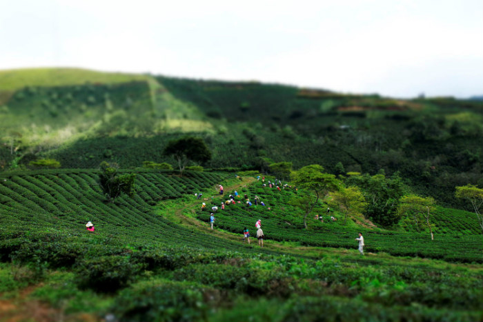 Đà Lạt - nơi có những đồi chè mênh mang