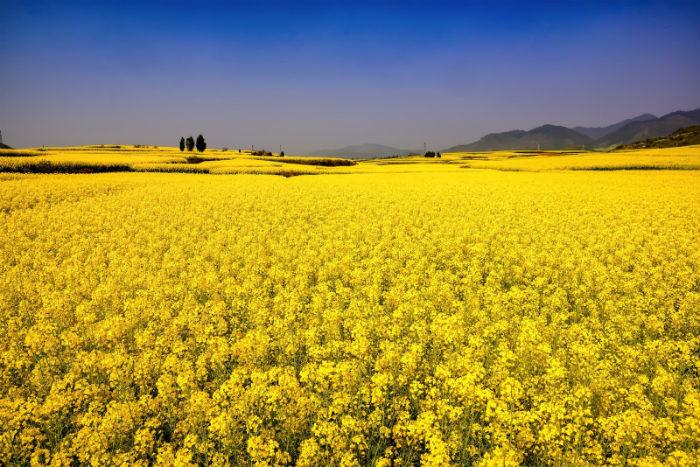 Những cánh đồng cải vàng rực rỡ trông hút mắt