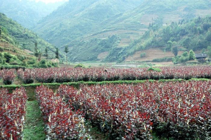 Thung lũng hoa hồng tuyệt đẹp ở Phó Bảng