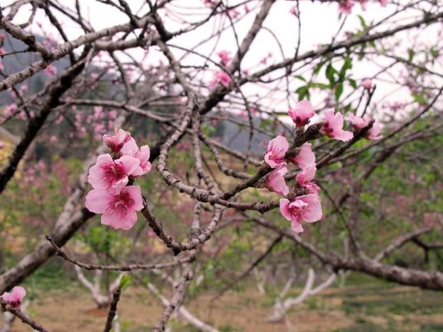 Mùa xuân hoa đào bung nở đẹp lung linh