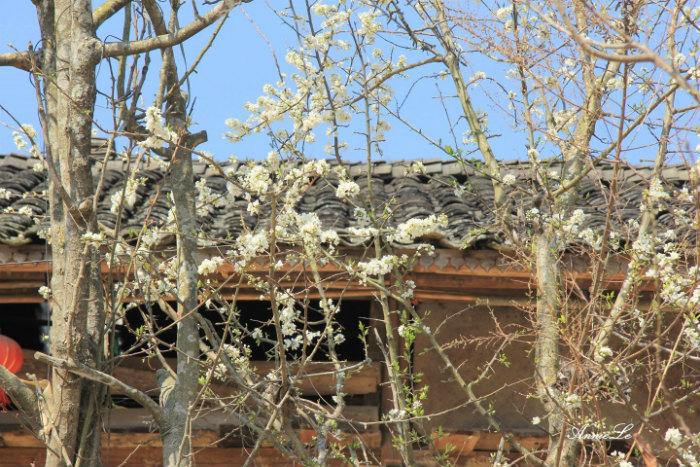 Những chùm hoa mận điểm xuyết cho không gian thêm phần thơ mộng những ngày đẹp nhất trong năm