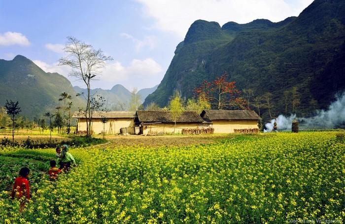 Mùa hoa cải dầu nở vàng rộ khắp nơi