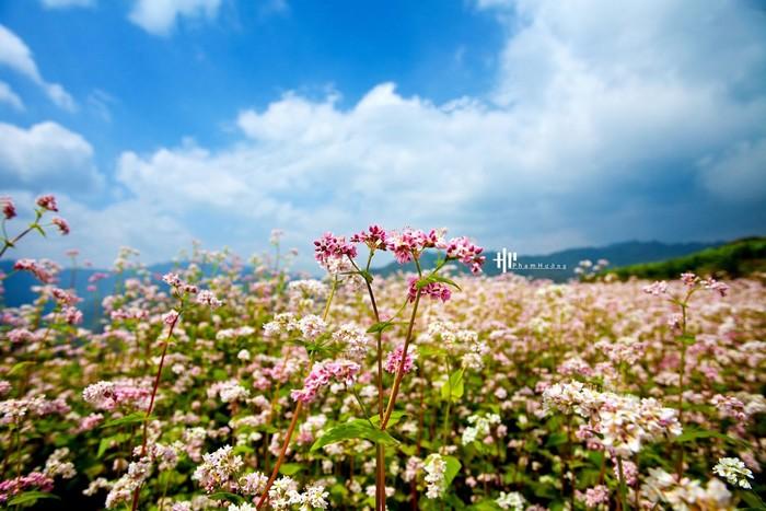 Hồng dịu dàng của màu hoa tam giác mạch