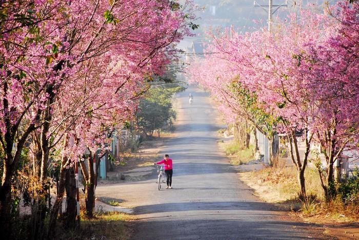 Đường hoa đào nở rực rỡ cả con đường