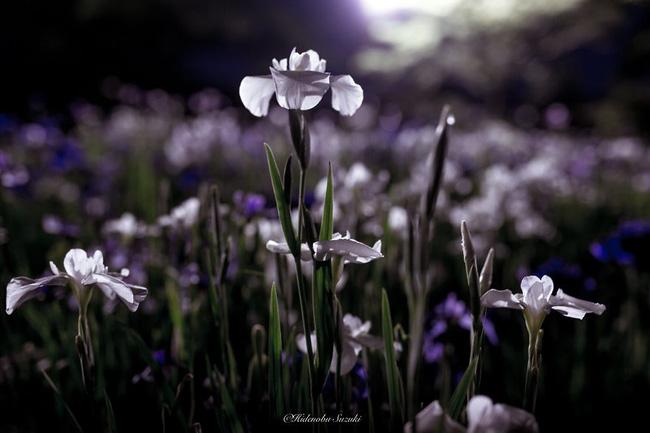 Hoa cũng như người, kiên định và ngay thẳng.