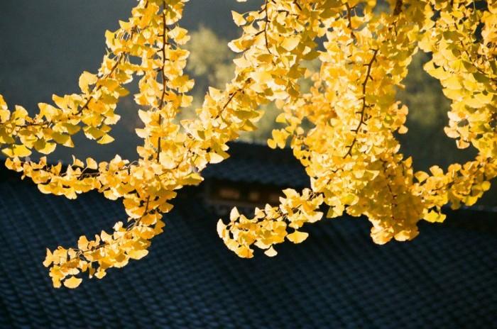 Dưới ánh nắng nhạt đầu thu, lá cây ngân hạnh bỗng bừng sáng như khối vàng lấp lánh.