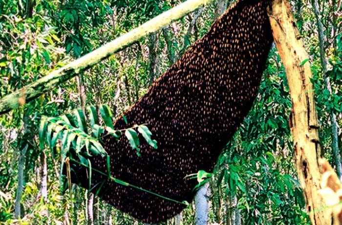 Mắm ong - đặc sản rừng U Minh Hạ