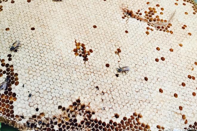 Tổ ong sau khi được lấy phần mật, còn lại tàng ong chứa ong non và nhộng được chế biến thành các món ăn, trong đó có món mắm ong là đặc sản.