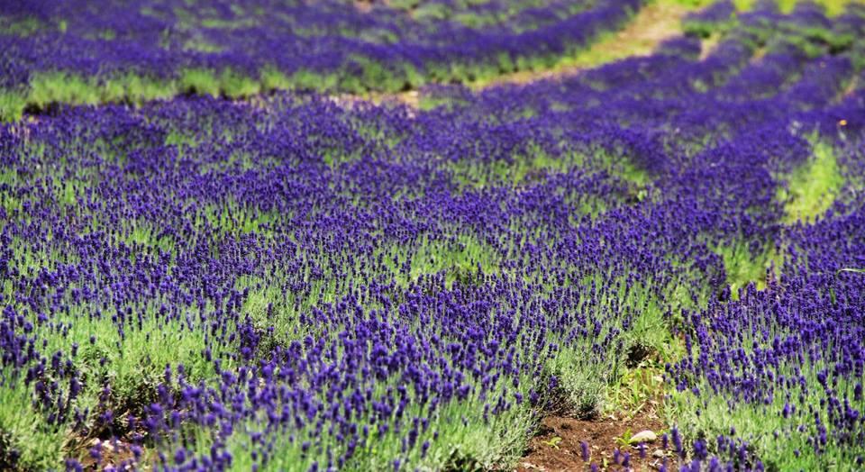 Oải hương - loài hoa nổi tiếng ở Florence (Pháp) đã được trồng tại Hokkaido, Nhật Bản hơn nửa thế kỷ trước. Khi xưa, hoa được trồng chủ yếu để lấy tinh dầu hay sản xuất xà bông. Nhưng nay, những cánh đồng hoa chủ yếu để phục vụ khách du lịch tham quan.