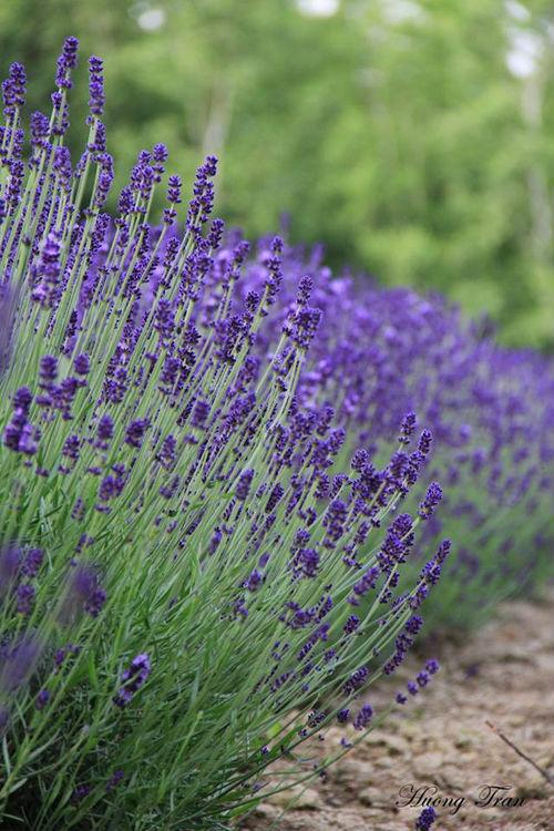 Trong đó, Furano là thành phố nổi tiếng nhất với loài hoa này. Tại đây có nhiều nông trại trồng hoa oải hương với quy mô lớn, nhỏ khác nhau.