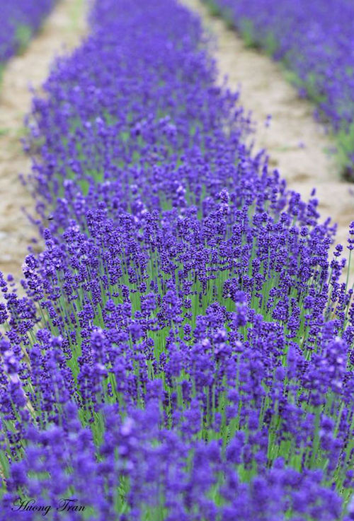 Du khách ngoài chụp ảnh có thể tham gia cắt hoa và ép tinh dầu với người dân ở đây. Những trải nghiệm này giúp bạn hiểu hơn về các công việc liên quan cũng như đời sống dân cư Nhật Bản.