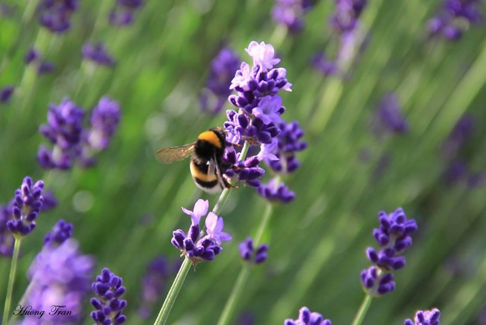 Oải hương là loài hoa có xuất xứ từ Địa Trung Hải, còn được gọi là Lavender. Mùa oải hương ở đây bắt đầu từ tháng 6 đến tháng 9, nhưng đẹp nhất là tháng 7, 8.
