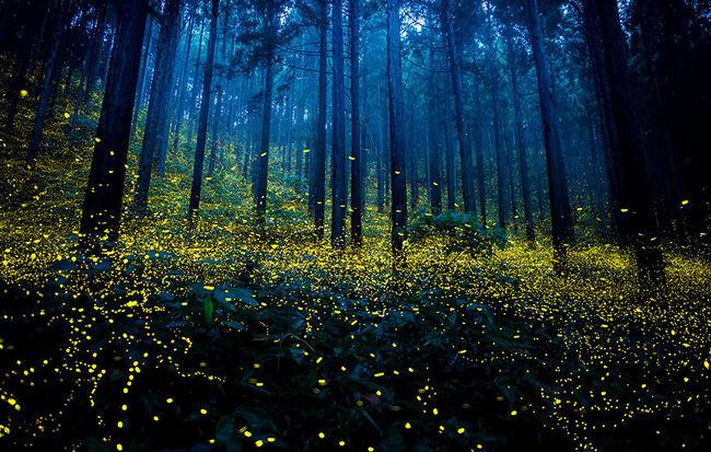 Sự xuất hiện của đàn đom đóm như phép màu diệu kỳ biến khu rừng xám xịt bỗng trở nên huyền ảo.