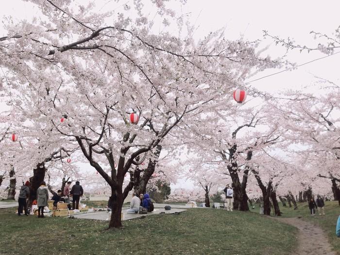 Người Nhật tổ chức picnic ngắm hoa anh đào trong công viên