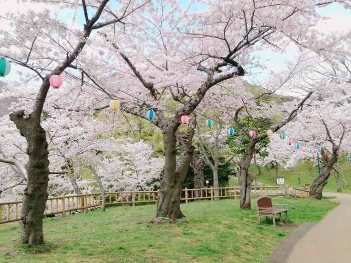 Con đường rợp bóng hoa anh đào