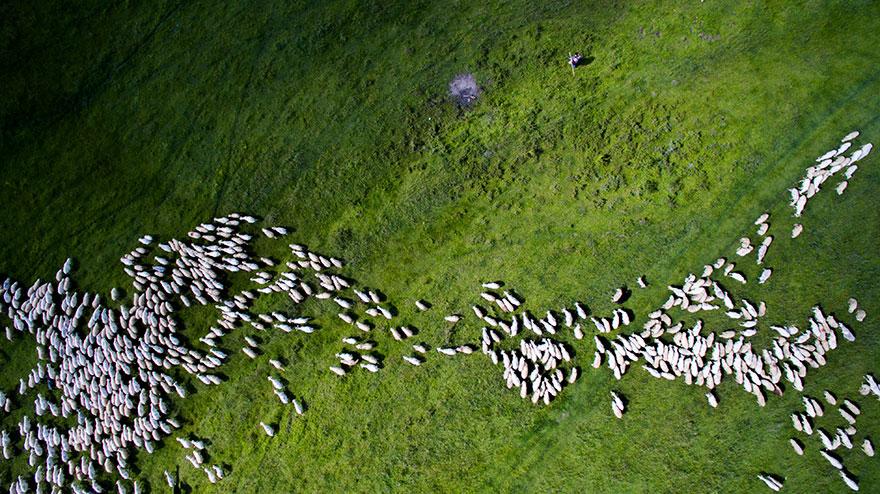 Giải nhì hạng mục Thiên nhiên hoang dã thuộc về bức hình đàn cừu trắng ấn tượng.