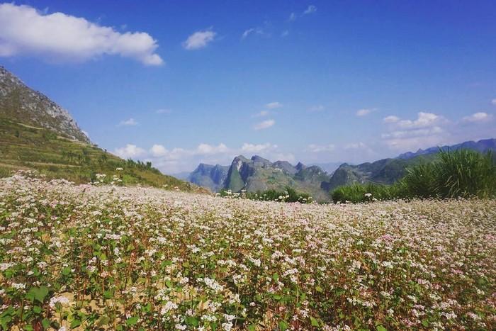 Trải dài khắp triền núi trên cao nguyên đá Hà Giang
