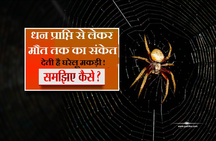 धन प्राप्ति से लेकर मौत तक का संकेत देती है घरेलू मकड़ी