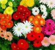 6 Cara Agar Bunga Aster Cepat Berbunga dan Selalu Merekah