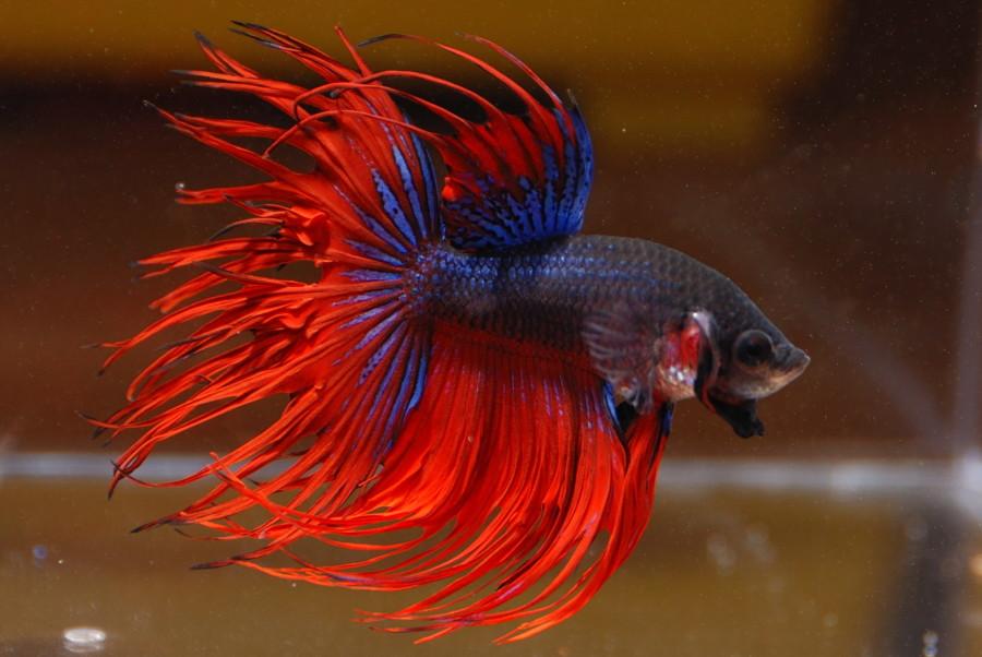 Unduh 6300 Koleksi Cara Membuat Gambar Ikan Cupang HD Gratis