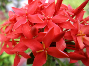 Download 68 Gambar Bunga Soka Gratis Terbaru