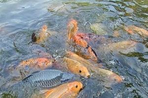 5 Cara Budidaya Ikan Dalam Kolam Terpal untuk Pemula
