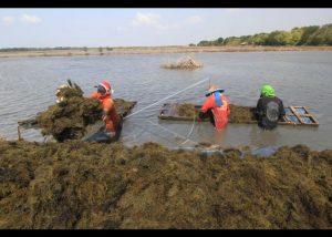 4 Cara Budidaya Rumput Laut di Air Tawar