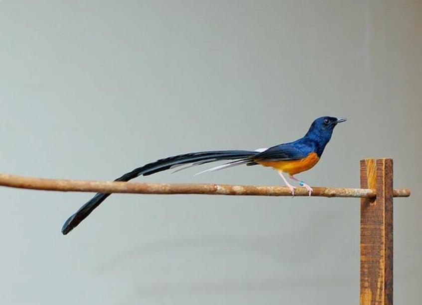 11 Cara Budidaya Burung Murai Batu Medan bagi Pemula