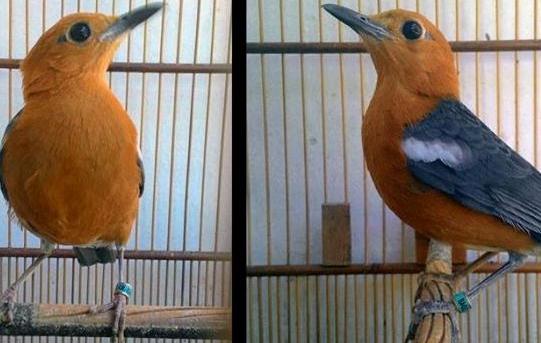8 Cara Budidaya Burung Anis Merah Paling Mudah Bagi Pemula