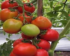 Media Tanam Hidroponik Untuk Tomat dan Tips Perawatannya