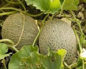 cara menanam melon
