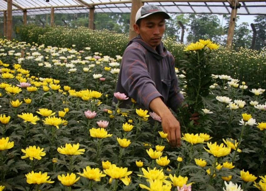 5 Cara Menanam Bunga Seruni Bagi Pemula