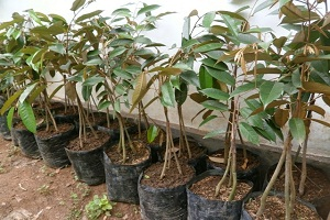 Media Tanam Untuk Bibit Durian Beserta Tips Menanamnya
