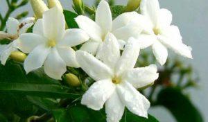 5 Cara Menanam Bunga Melati Hidroponik Paling Mudah