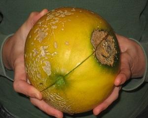 4 Cara Mengatasi Busuk Buah pada Melon dan Perawatan Tanaman