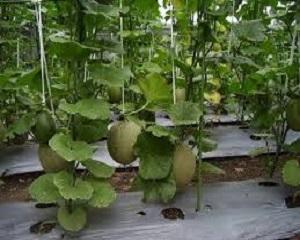 11 Cara Menanam Melon dengan Sistem Lesehan Bagi Pemula