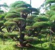5 Cara Mencangkok Cemara Udang Sebagai Potensi Usaha yang Menjanjikan